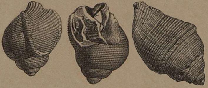 Copia di Copia di Tavola cassidaria